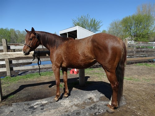 Horse Classified Ad Ginger (Jacks Golden Sun)