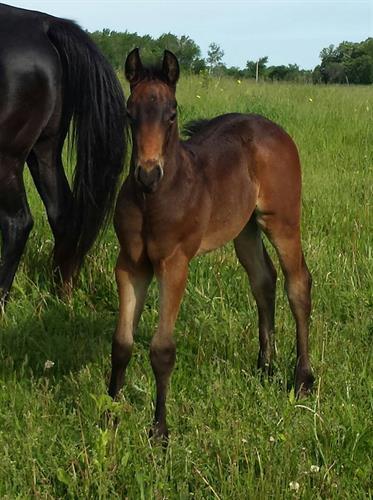 TOO STREAKIN FAMOUS!  2016 bay roan son of A Streak of Fling x Dash Ta Fame.  Super nice colt!