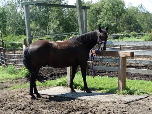 Horse Classified Ad Blackie