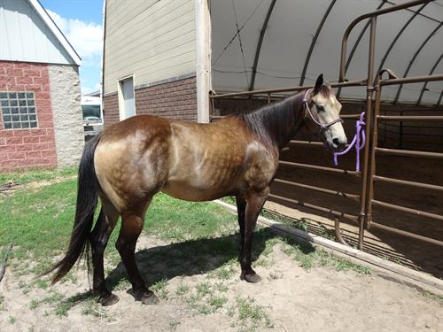 Horse Classified Ad Lita (Lidos Little Snip)