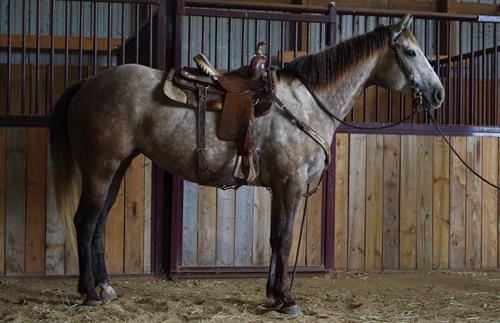 FIREWATER APPROVED 5 yr old AQHA Grey Mare. Here's a fancy bred mare that is very good colored and very well made. She is straight and correct, big hip and hind quarters. She is well broke and has a lot of outside riding experience. She reins well, stops well and has a good turnaround.
