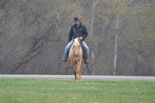 Frosty Calibur Bars aka Woody 5 yr old AQHA Palomino Gelding. Woody is a very sharp looking palomino gelding. He is about 15 hands his legs are straight and he's put together right. He rides very well, he is smooth and easy to sit. He neck reins great, stops great and works very well off your legs.