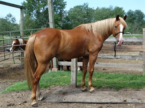 Horse Classified Ad Sonny