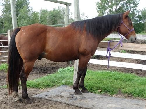 Horse Classified Ad Cicso
