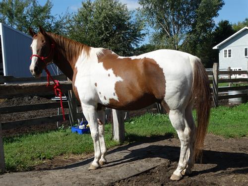 Horse Classified Ad Ozzi, (Crazy Train)