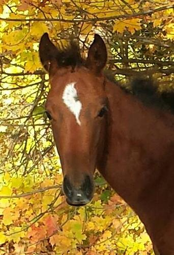 Horse Classified Ad French Angel