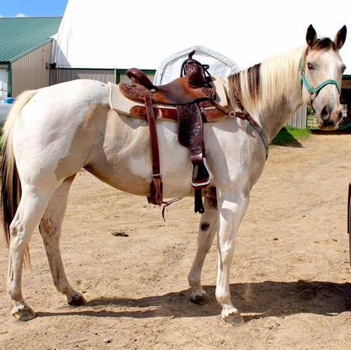 Horse Classified Ad INDI