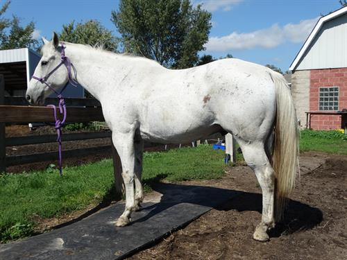 Horse Classified Ad Ray