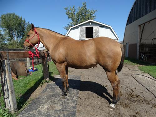 Horse Classified Ad Holly, (Remember Nine Eleven)