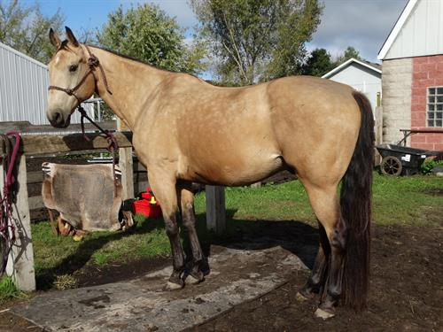 Horse Classified Ad Jet, (Quixotes Jet Frost)