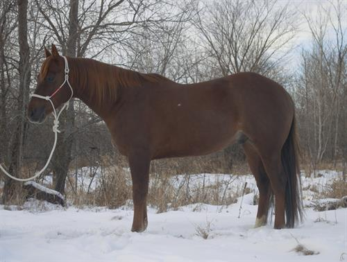 Horse Classified Ad SHANIAS PRETTY BOY