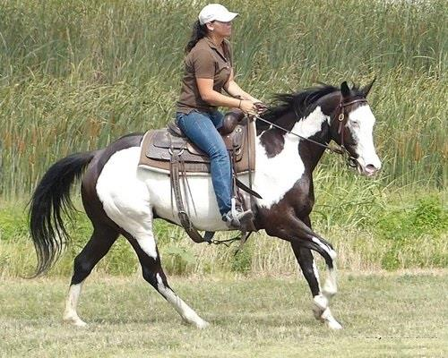 Horse Classified Ad Proud Ryda