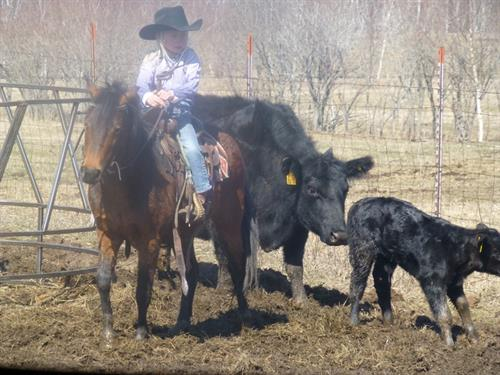 Hot Chocolate 15 yr old Bay Pony Gelding.  **VIDEO**Hottie was purchased from the Houck Horse Company Sale in 2014. he has been an outstanding pony for us.  He is easy to catch and happy for the attention.
