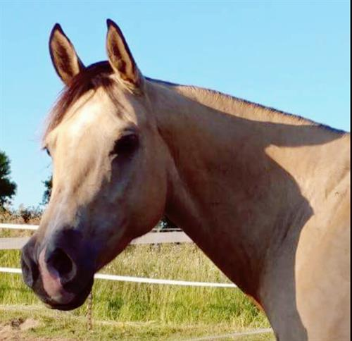 Highbrow Hollywood 2011 AQHA Dunskin Mare.   Curser is a very pretty mare, small head. 14-14.1hh, catty, and quick. Clean, sound and correct. Would make a nice breakaway/barrel horse just needs time. Last spring had 60 days on her, hauled and seen the sights. She's been around and good with cattle. She was just sent off for a 30 day refresher to finish up right before sale day. This mare is ready to go and needs a job.