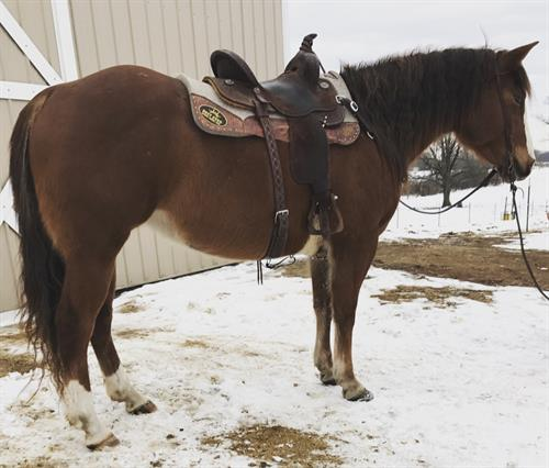 "Sweet ID Jackie ""Nova"" is a 6 year old AQHA mare standing at 15 hands. This girl has potential any any direction and is always willing to please. She is loping the barrel pattern, tracked cattle, has had ropes swung and thrown off of her, has jumped, been extensively trail ridden and has been used by youth."