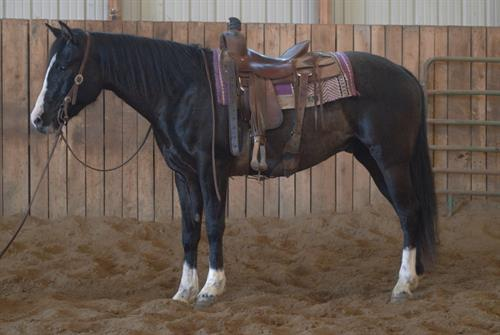 Blackjack 6 yr old Black Gelding.  **VIDEO***Blackjack is a very fancy looking black horse with 3 white legs and a strip face. He is a good size standing around 15.2 hands. This is a nice big horse that is smooth strided and easy to sit.