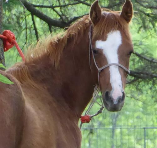 Biebers French Blaze 2015 APHA Sorrel Gelding. Blaze is a quiet gentle, and willing gelding.  Has been very easy to train under saddle. Grandson to Frenchman's Guy.  Good running bloodlines on his Dam's side as well.  Versatile enough to take you any direction.