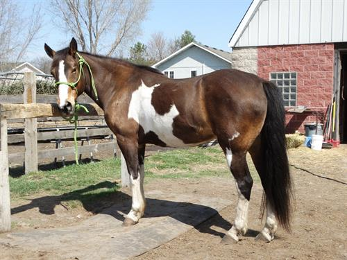 Horse Classified Ad Paco