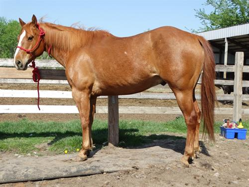 Wrigley, Good Looking Sorrel Gelding, 7yrs old, Quiet Dispo