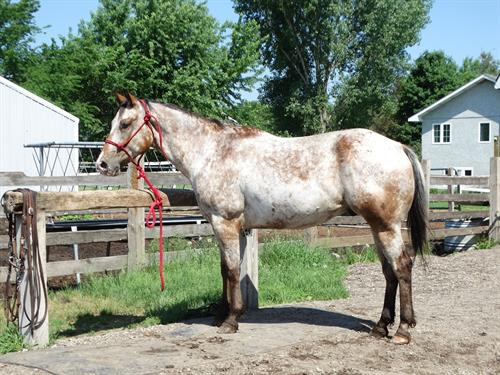 Ripley, Pretty Bay Appaloosa Gelding, Fast and Athletic, 1D potential for Barrels