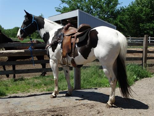 Joe, Good Looking Black & White Gelding, Great Trail horse, packed in the mountains