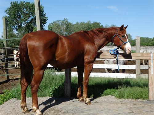 Horse Classified Ad Sam