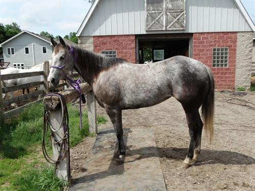 Horse Classified Ad Lacy, (MW Ima Wildflower)
