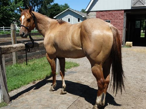 Horse Classified Ad Nate