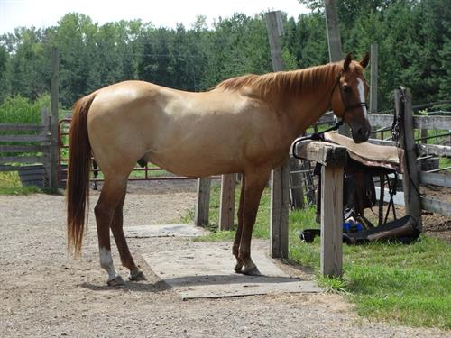 Horse Classified Ad Henry