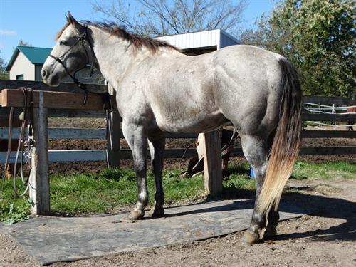 Flint, Gorgeous Gray Gelding, Well broke Ranch horse
