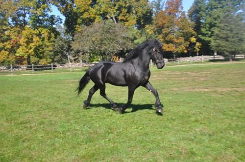 Horse Classified Ad Pedroo