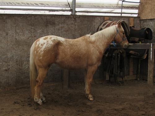 Horse Classified Ad Daisy