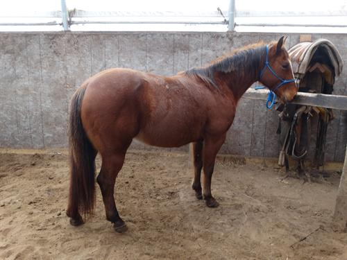 Dolly, APHA, Really Cute Mare, Handy and athletic but also quiet!