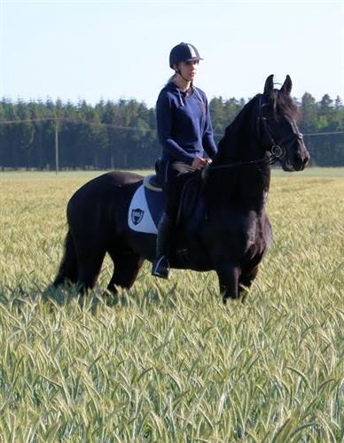Horse Classified Ad friesian
