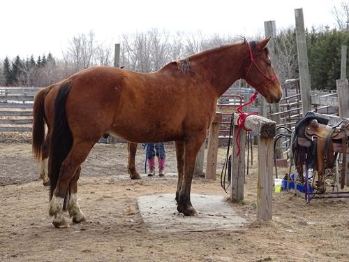 Horse Classified Ad Samson
