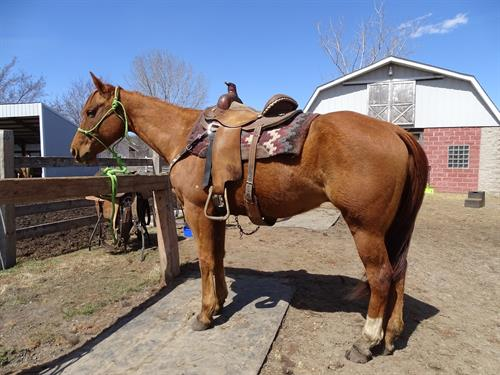 Sparky, AQHA 7yr gelding, used on a Ranch, great all around