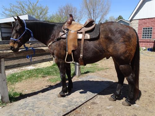 Horse Classified Ad Mac ( Zippte Mac)