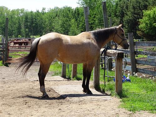Horse Classified Ad Santana
