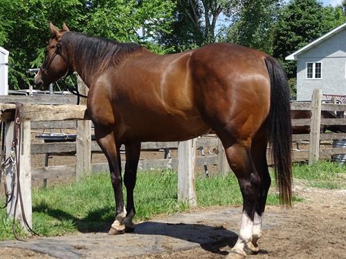 Cooper, Gorgeous Western Pleasure Gelding, Open Show Horse