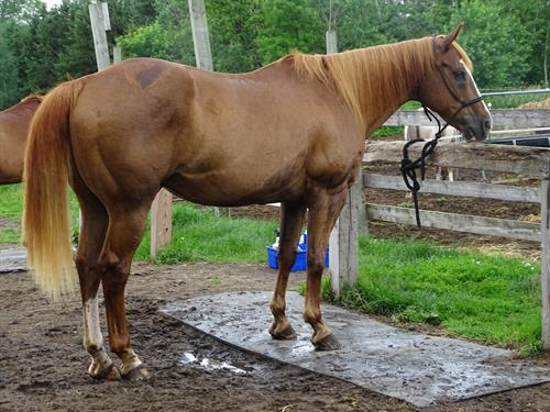 Horse Classified Ad Eddie