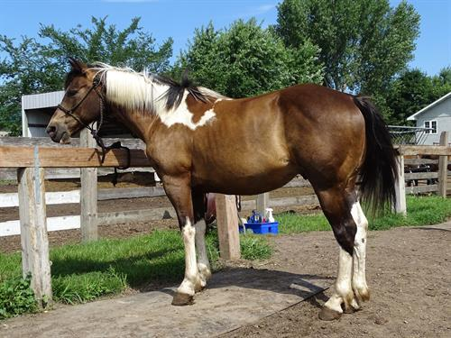 Horse Classified Ad Dandy