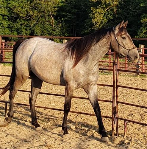 Horse Classified Ad Red Hot Okie Fling