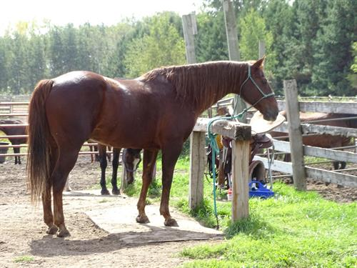 Horse Classified Ad Charlie