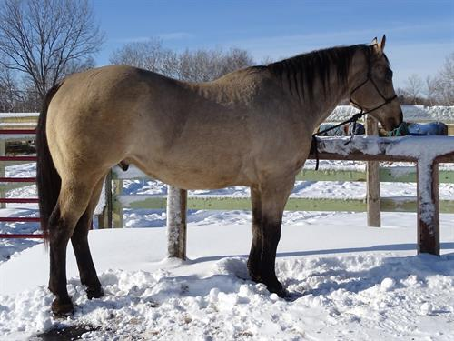 Horse Classified Ad Cisco