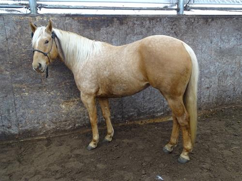 Horse Classified Ad Blonde, (Jetty Be Blonde)