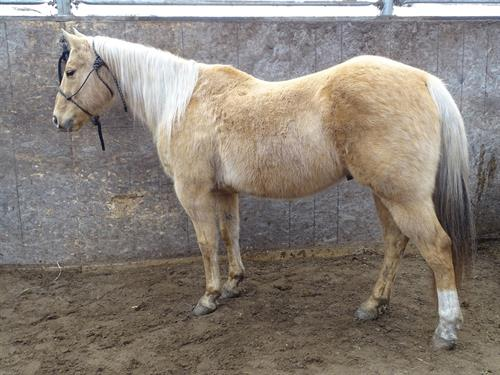 Horse Classified Ad Cody