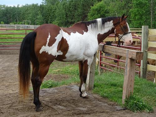 Tahoe, Gorgeous Bay Overo Gelding, Well Broke Trail Horse