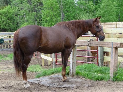 Horse Classified Ad Montana
