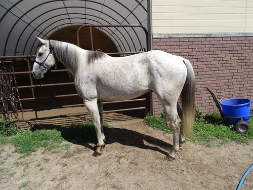 Horse Classified Ad Ramsey