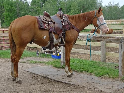 Horse Classified Ad Winston